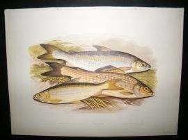 Houghton 1879 Folio Antique Fish Print. Vendace, Gwyniad, Grayling